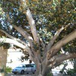 Ficus en la plaza