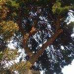 procesionaria-pino-torre-juana-3