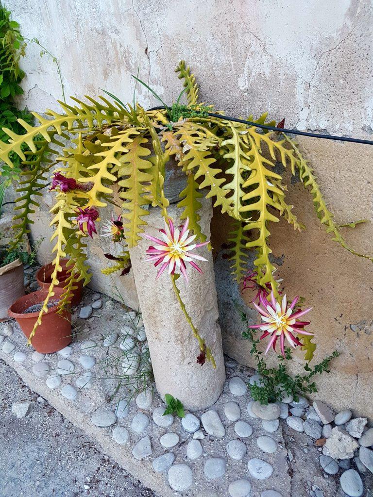cactus-torre-juana-flores